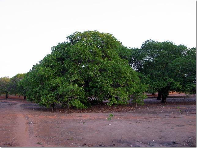 Cashew Grove