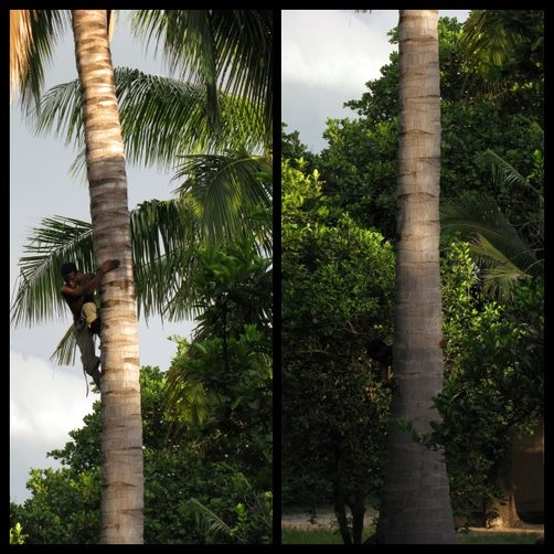 Climbing Down from a Coconut Tree, Stage 5 & 6