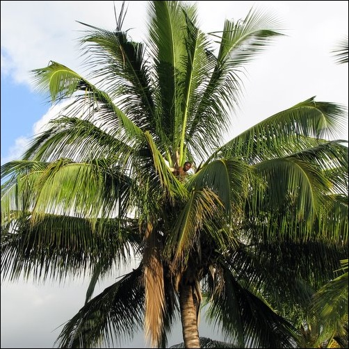 Man in a Cocnut Palm