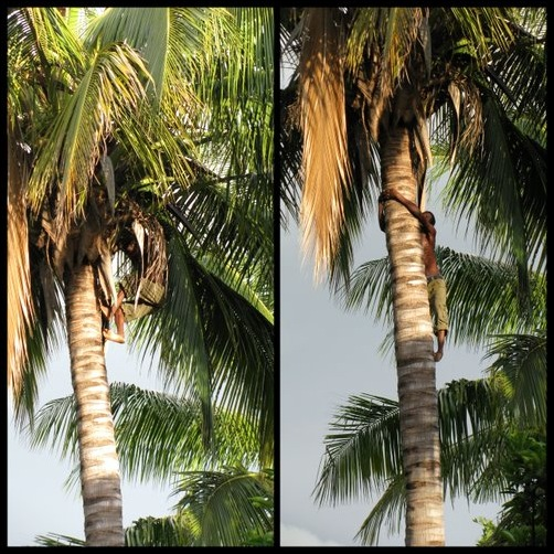 Climbing Down from a Coconut Tree, Stage 1 & 2