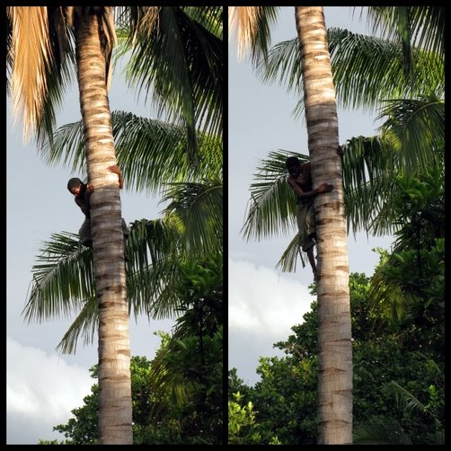 Climbing Down from a Coconut Tree, Stage 3 & 4