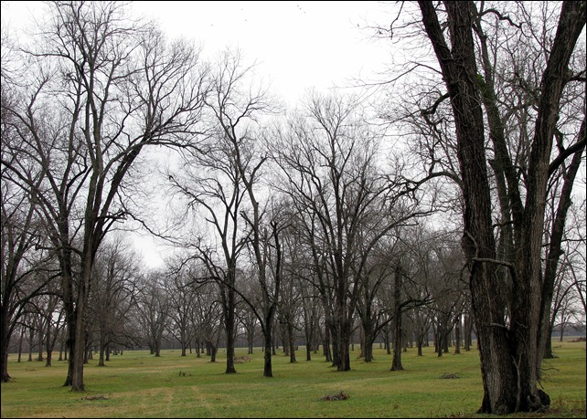 pecan grove in winter