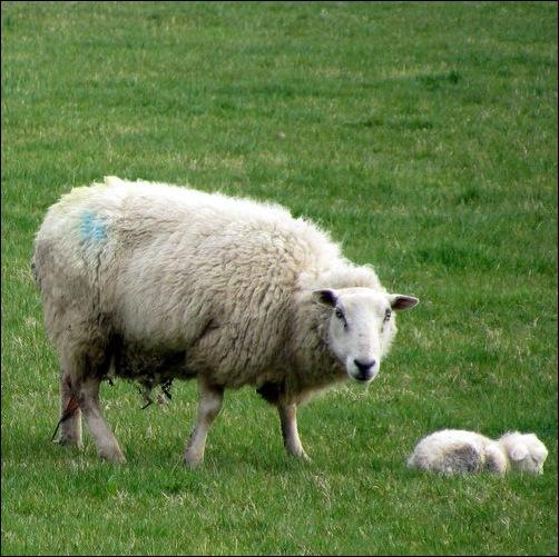 tiny little newborn lamb