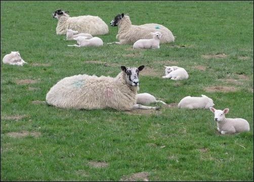 North of England Mule sheep and lambs
