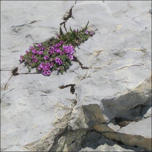purple alpine flowers